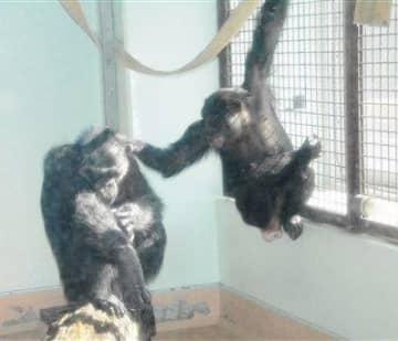 「マルク」と触れ合うチンパンジーの「みるく」(右)=熊本市東区