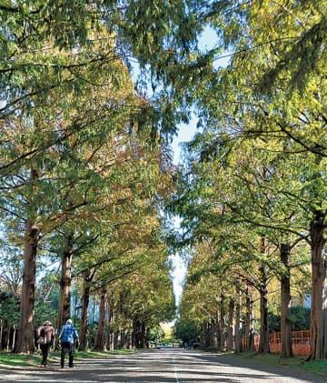 総合公園のメタセコイア並木(11月29日撮影)