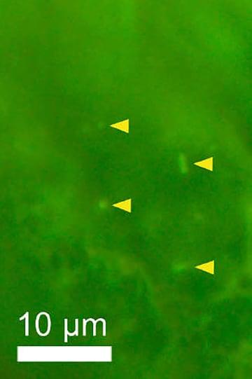深海底の岩石の中で見つかった微生物(黄色い印)。下の棒の長さは100分の1ミリ(東京大の末岡優里さん提供)