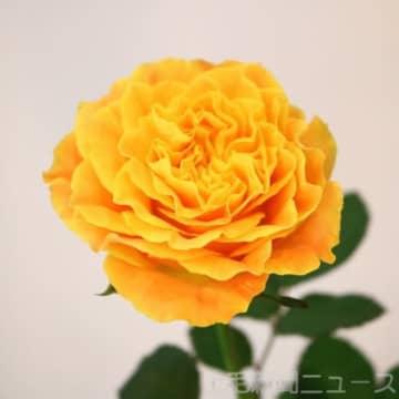 マンゴー色のバラが入賞 フラワー・オブ・ザ・イヤーOTA