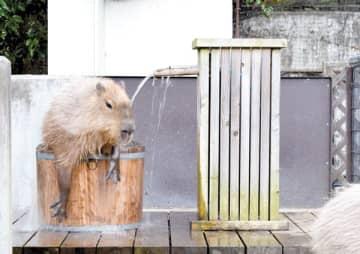 お湯の入った桶に入るカピバラ