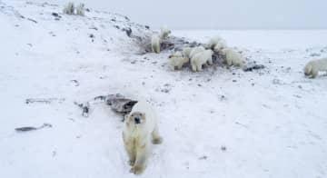 ロシア・リルカイピ村周辺のホッキョクグマ=12月(世界自然保護基金ロシア支部提供・共同)