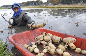 厳しい寒さの中、ハス田に漬かりレンコンを収穫する生産者=6日午前、土浦市田村町