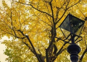 <写真特集>横浜・山下公園で出会ったイチョウの木々