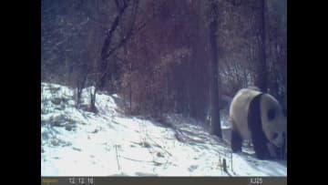野生のパンダが逆立ち、実はマーキングだった!