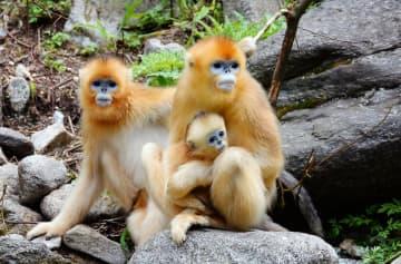 秦嶺地区、希少動物の個体群数が増加