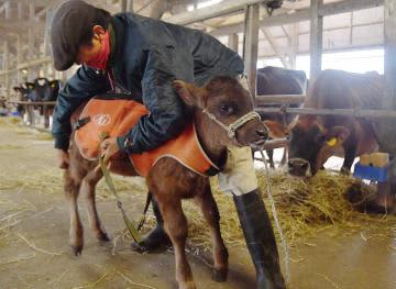 底冷えの中、酪農家が子牛にジャケットを着せ冬支度を進めた=7日午前、稲敷市市崎