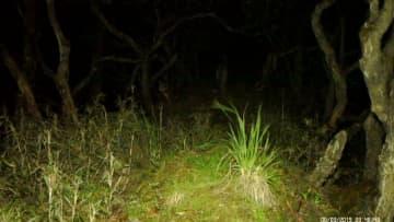 パンダ生息地で貴重なユキヒョウを撮影 四川省臥竜自然保護区