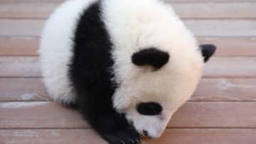 赤ちゃんパンダ、ついつい居眠り