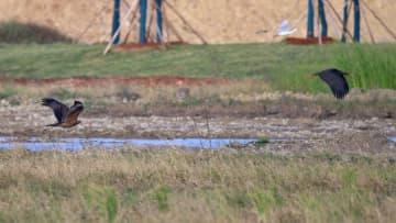 雲南省紅河で国家1級保護動物のナベコウ発見