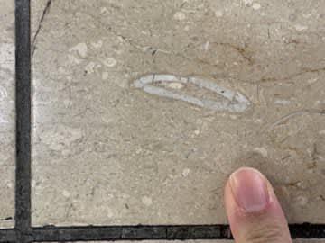 新幹線の待合室で「ウニの化石」発見!(画像は西本昌司さんのツイートより)