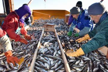 漁が本格化し鯵ケ沢漁港に水揚げされたハタハタ=9日午前8時20分ごろ