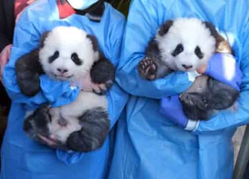 BERLIN, GERMANY - DECEMBER 09: Zookeepers hold baby male pandas Meng Yuan and Meng Xiang during the pandas' first presentation to the media at Zoo Berlin on December 09, 2019 in Berlin, Germany. The two were born at the zoo 100 days ago and...