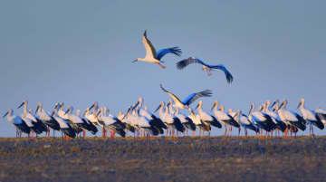 今年の渡り鳥の中にコウノトリ400羽余りを確認 黒竜江省興凱湖