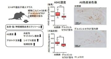 アルツハイマー病のモデルマウスにこんにゃく芋由来のセラミドを投与した効果(写真:北大の発表資料より)