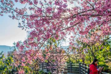 色鮮やかな冬桜が見頃 雲南省