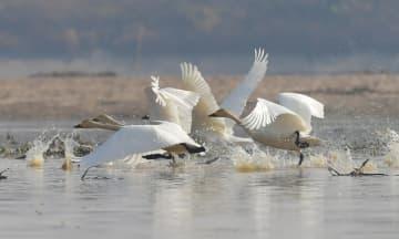 冬の撫河にコハクチョウが飛来 江西省