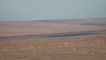 野生のプシバルスキーガゼル数千頭 中国・モンゴル国境を移動