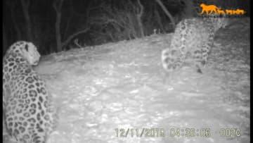 東北虎・東北ヒョウ国家公園で東北ヒョウの繁殖をリアルタイム観測