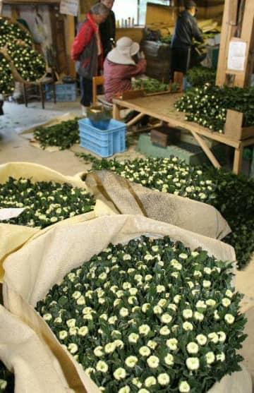 県内最大の菊産地である佐伯市で、年末年始用の出荷が最盛期を迎えた=佐伯市蒲江波当津浦