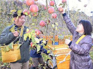 ジャムに使用するリンゴを収穫する参加者ら=6日午後、福島市・やぎぬま果樹園