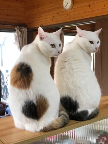 ツイッターに投稿された美しく成長した小桃ちゃん(左)と小夏ちゃんの写真=ねこ(@neko_musk)さん提供