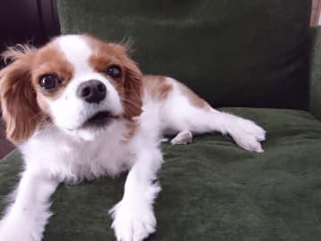 キャバリア犬の「ルル」ちゃん(写真提供:日本ペットモデル協会)