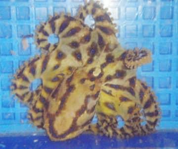 刺激を受けてヒョウ柄が浮き出たヒョウモンダコ(大分県提供)