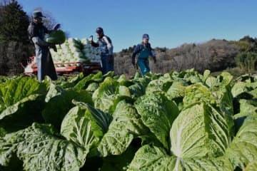 岡山県吉備中央町で収穫作業が最盛期を迎えた「円城白菜」=16日
