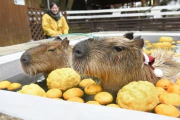 「大山トム・ソーヤ牧場」でゆず湯を満喫するカピバラ=22日、鳥取県米子市