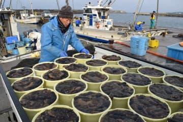 水揚げされた横浜町産のナマコ=23日午前10時ごろ、横浜町の横浜漁港