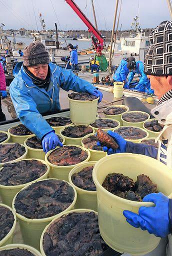 次々と水揚げされる「横浜なまこ」=23日午前10時すぎ、横浜漁港