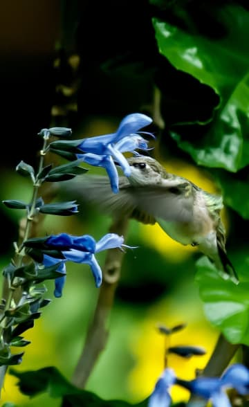 Rockin Blue Suede Shoes salvia will debut this spring to the delight of hummingbirds, butterflies and gardeners, too! - Norman Winter/TNS/TNS