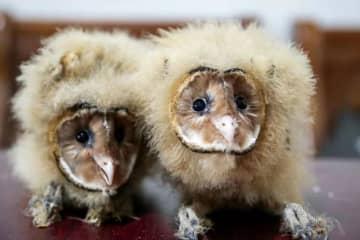 野生動物のメンフクロウを保護 江西省峡江県