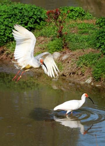 トキが絶滅の危機から数千羽へ、人と鳥のウィンウィン実現 陝西省洋県