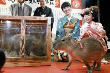 「亥」から「子」への干支の引き継ぎ式にお目見えしたイノシシ「うーちゃん」(左)とネズミの仲間に分類されるカピバラ「ナッツ」=27日午前、大阪市の通天閣