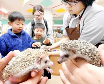 来年の子年を控え、親子連れの目を引くハリネズミ=福井県福井市新保町の「手取フィッシュランド福井店」