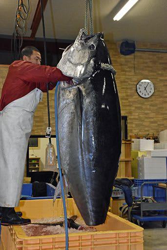 「第37大輝丸」が水揚げした250キロのクロマグロ=28日午後5時6分、大間町の海産物卸会社