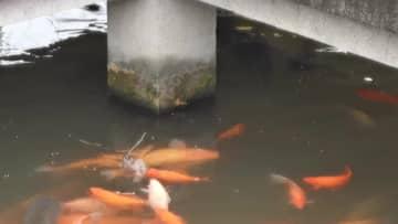 魚の餌を横取りする食いしん坊ネズミ 杭州・西湖