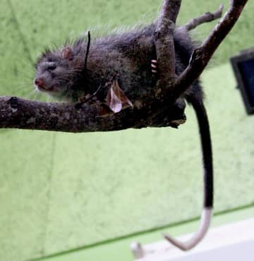 沖縄こどもの国で飼育されているケナガネズミ(同園提供)