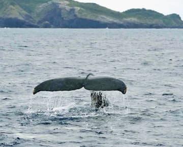 尾びれを見せて悠々と泳ぐザトウクジラ=29日、座間味村座間島の北約1キロ沖(宮城清さん提供)