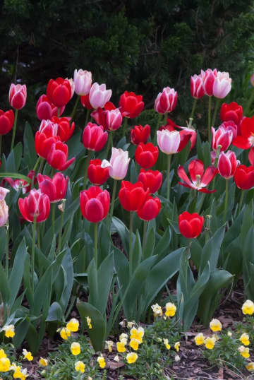 Use tulips in color schemes like you do other flowers. - Norman Winter/TNS/TNS