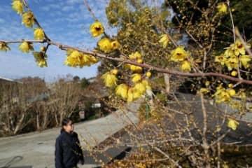 光沢のある花を咲かせ始めたロウバイ=6日午前9時42分、半田山植物園