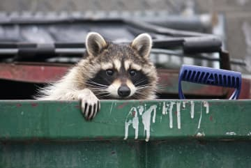 The first raccoons wandered into developed areas in the 1950s, attracted by all the free food, water and shelter we offered. - Dreamstime/Dreamstime/TNS
