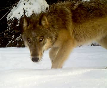 A gray wolf hunts near Chewelah, Wash. - Handout/Washington Dept. Fish Wildlife/TNS