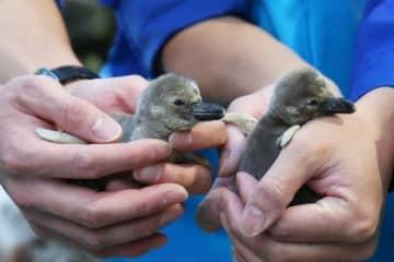 【ふ化したフンボルトペンギンの赤ちゃん=鳥羽市の鳥羽水族館で】