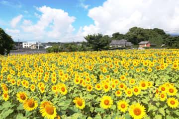 南島原市花のヒマワリが咲き誇る布津町の畑のような日常の風景を募集するフォトコンテストも開催(南島原市提供)