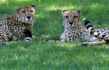 Cheetahs Buju (left) and Beenie at the Cape May County Zoo in Cape May Court House, Wednesday, July 22, 2015. (Lori M. Nichols | For NJ.com) SJN (Lori M. Nichols/)