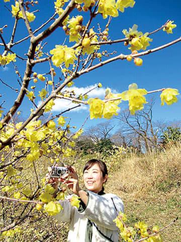 一足早く春を感じながら花観賞を楽しむ女性=本庄市児玉町小平、ふるさとの森公園