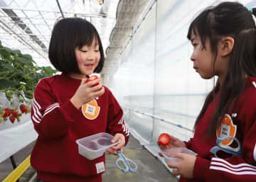 産直来夢くん・イチゴ農園がオープン。招待されイチゴ狩りを楽しむ東水沢保育園児